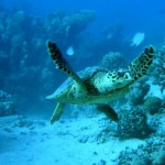 caretta_carreta_kefalonia