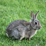 kefalonia_rabbit