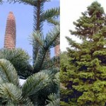 abies_cephalonica